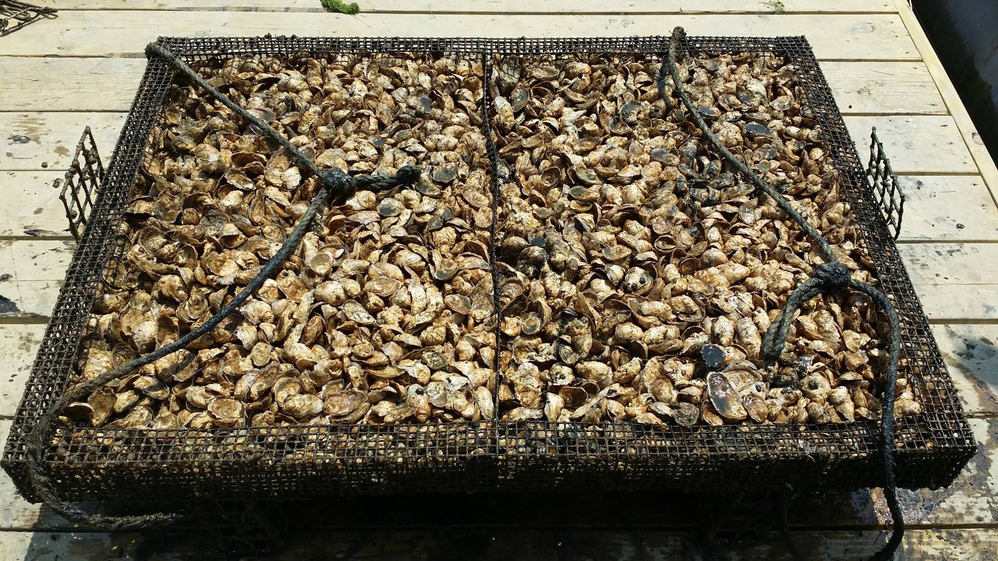 Hollywood's oysters are grown in traps in the Bay (pictured). If macroalgae (seaweed) is grown on a commercial scale near oyster farms, it could serve as a biofilter to remove excess nutrients in the Bay, and can be harvested for marketable