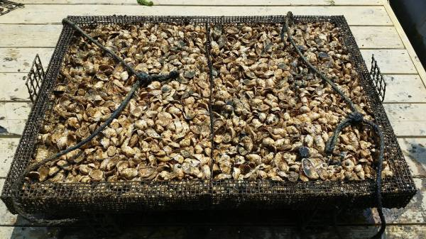 Hollywood's oysters are grown in traps in the Bay (pictured). If macroalgae (seaweed) is grown on a commercial scale near oyster farms, it could serve as a biofilter to remove excess nutrients in the Bay, and can be harvested for marketable food products.