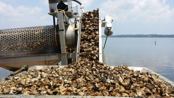 Pictured: Oysters ready to be processed for sale or re-planted in the Chesapeake Bay by the Hollywood Oyster Company.